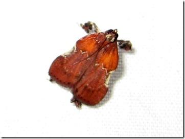 5552 – Galasa nigrinodis – Boxwood Leaftier Moth - 01