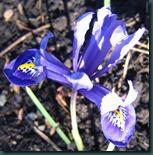 Iris r. 'Harmony'