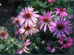 Echinacea and Origanum