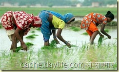 paddy sowing