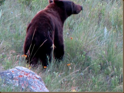 Bear July visitor2