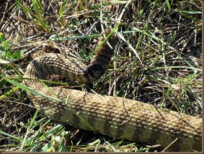 Rattlesnake rattles