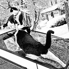 Skeeter and Zoe in the snow and on the van by Paul Dineen - Animals - Cats Playing ( van, cat, snow, reflections, bandw,  )