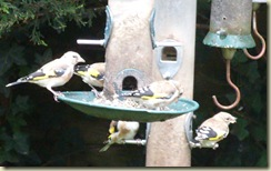 goldfinches4
