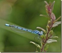 blue damsel 1