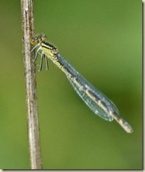 female damsel 7