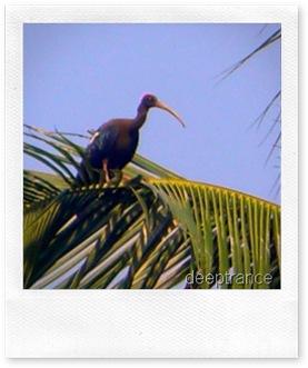 ibiscrane