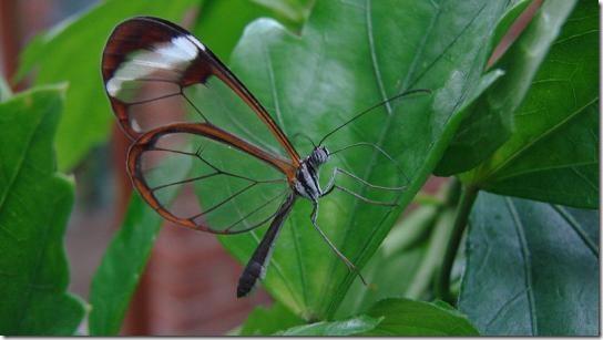 800pxglasswingbutterfly_1
