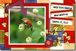 ladybirdbeetle2009WEB