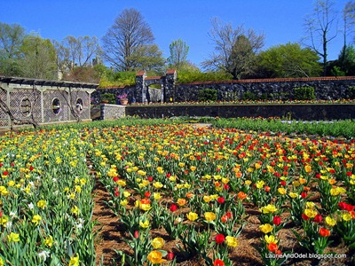 Tulip time in the Walled Garden