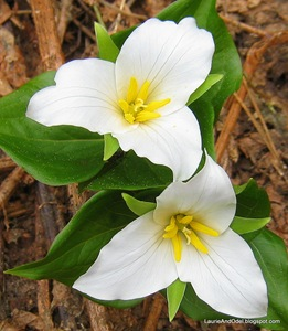 White Trilliums