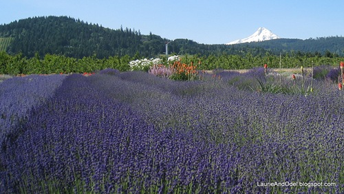 Lavender and Mt. Hood