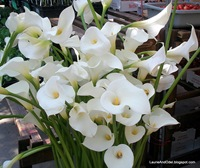 Calla Lillies at Eugene Farmers Market