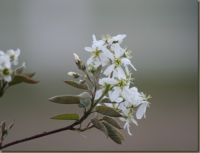 ServiceBerry Blooms
