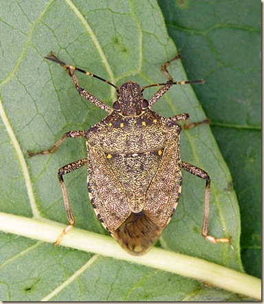 Brown-marmorated-stink-bug-adult-male