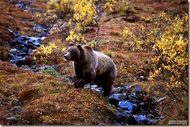 bear_stream_std
