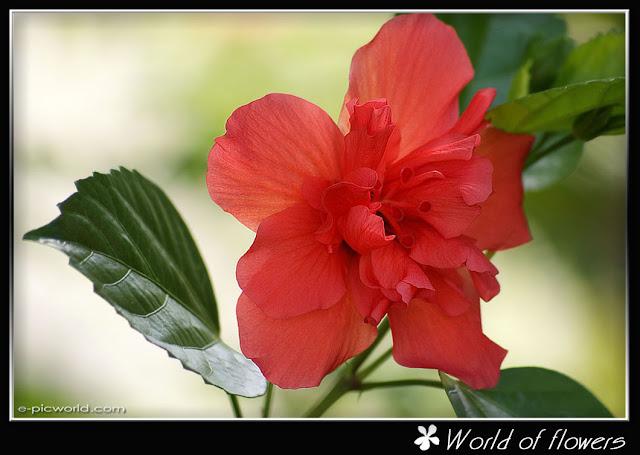 Hibiscus picture
