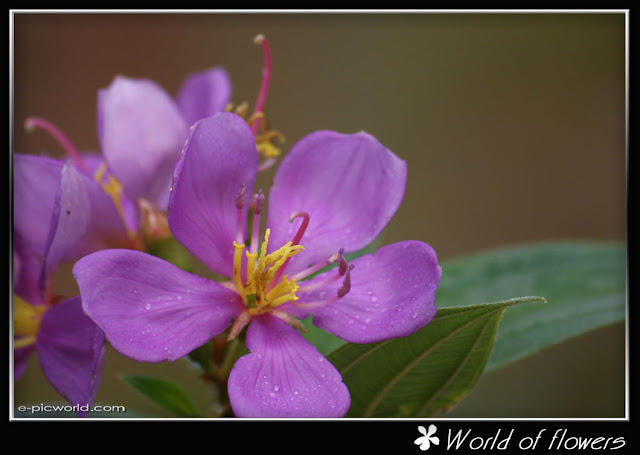periwinkle flower picture