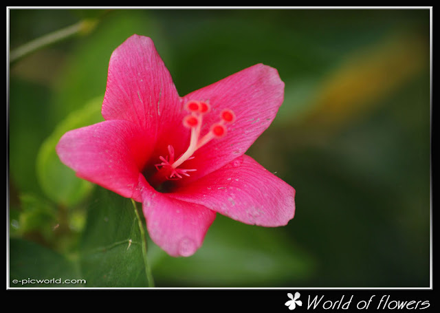 hibiscus flower picture