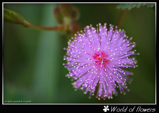 mimosa flower picture
