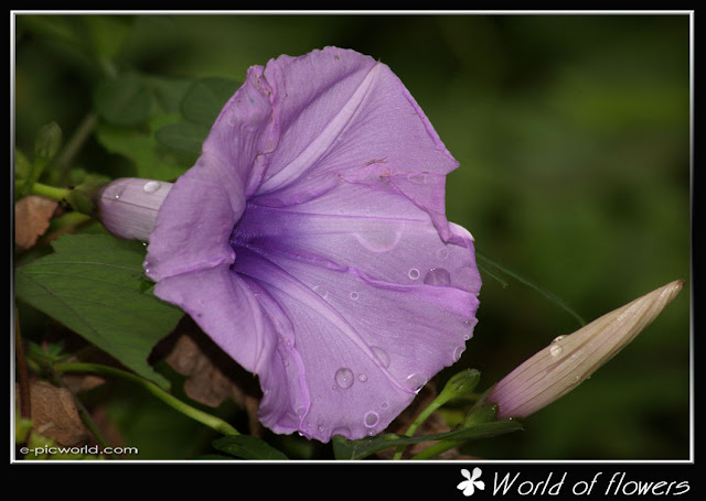 morning glory flower picture