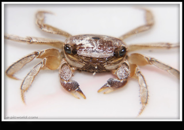 small Crab picture