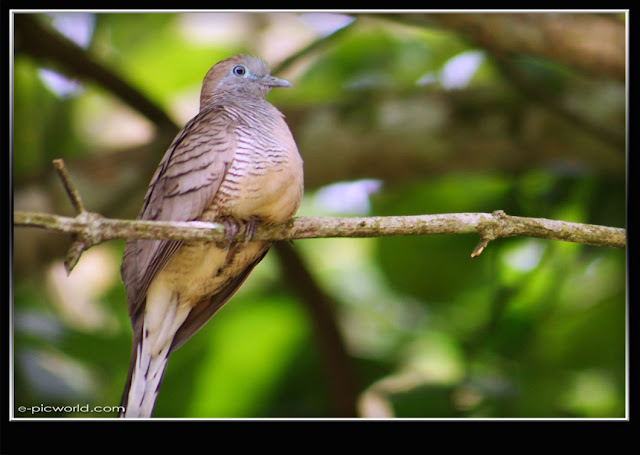 Little cuckoo-dove picture