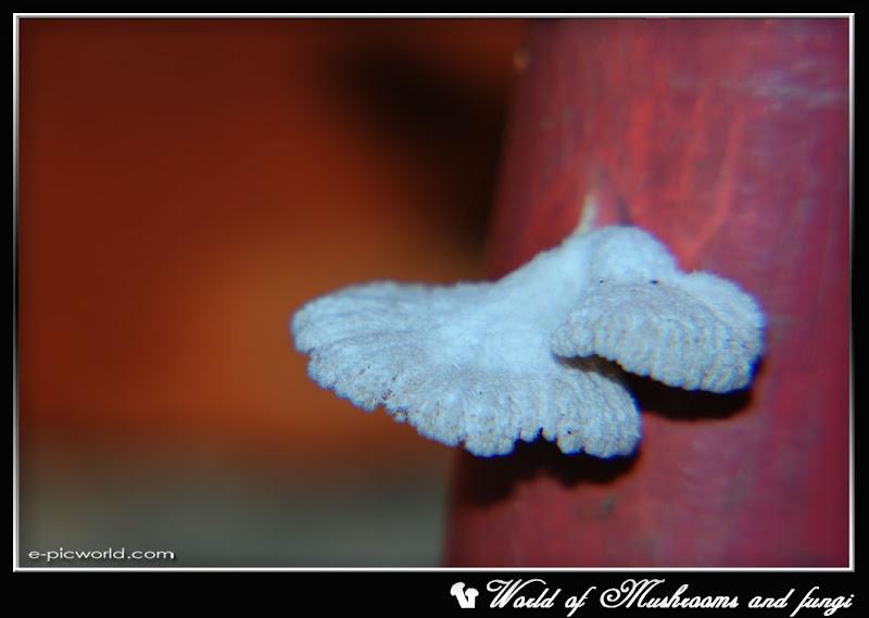 white fungi picture