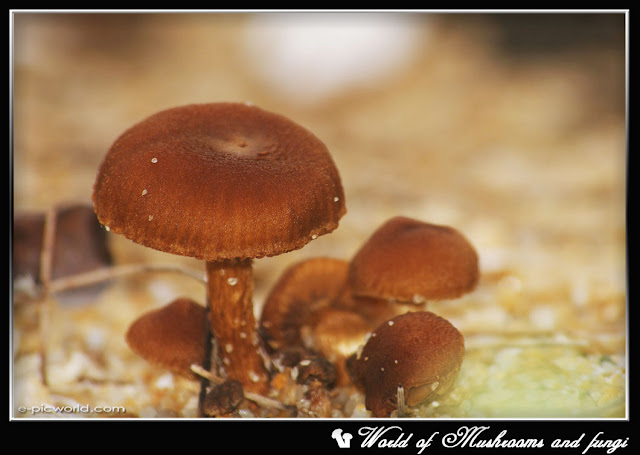 Brown mushrooms picture