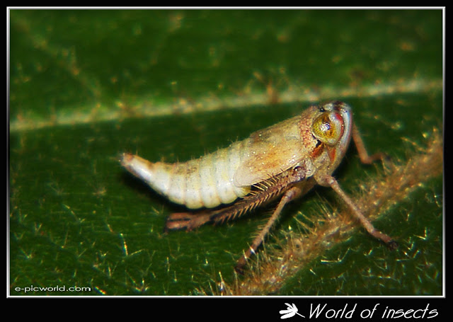 Froghopper picture