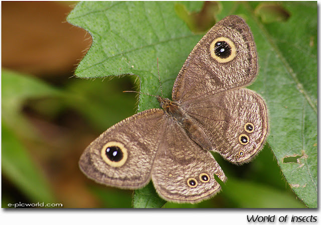 butterfly insects picture