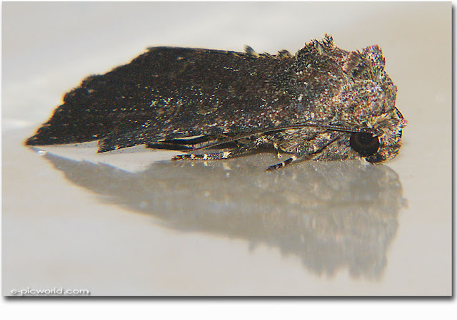 moth insect picture