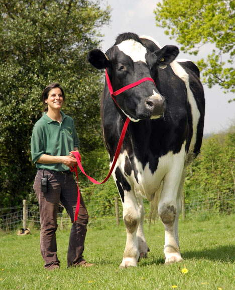 Thats a big cow :S