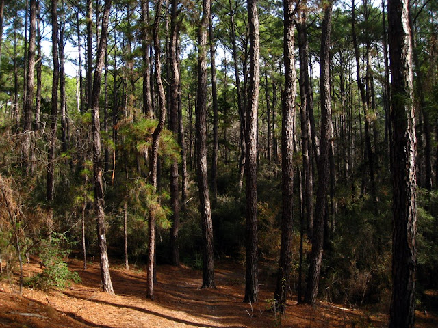The Pines of Bastrop State Park
