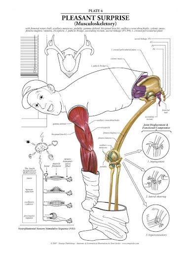 anatomia, humana, musculo, esqueleto, hueso