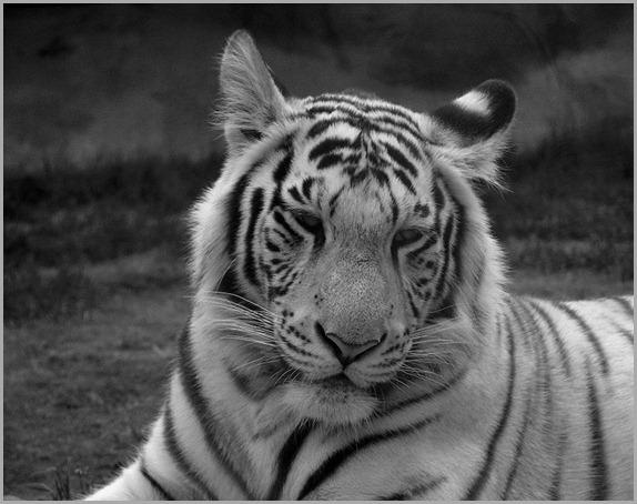 800px-White_tiger