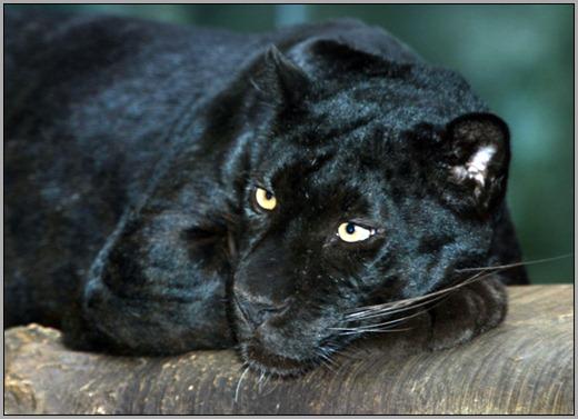black leopard resting
