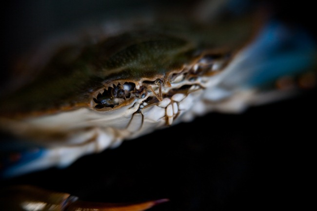 Maryland Blue Claw Crab