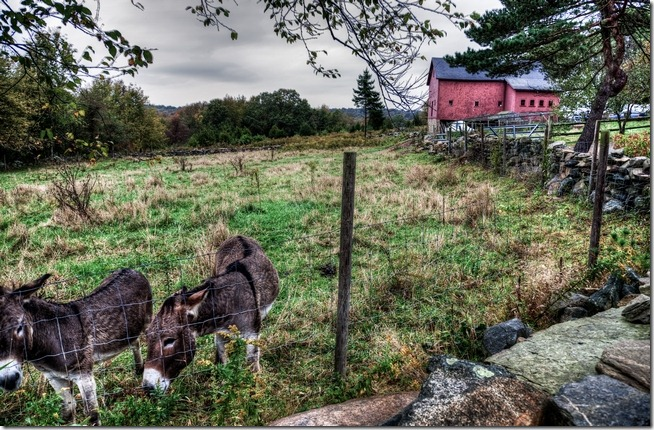 Mules at Stonington Lodge-2