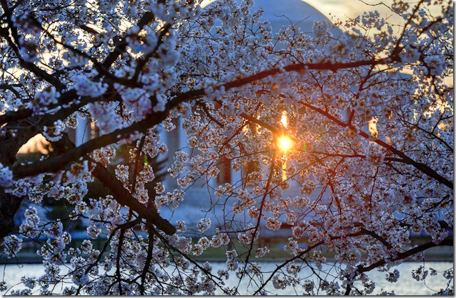 Washington Cherry Blossoms at Sunrise-1