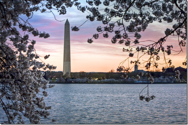 Washington Cherry Blossoms at Sunrise