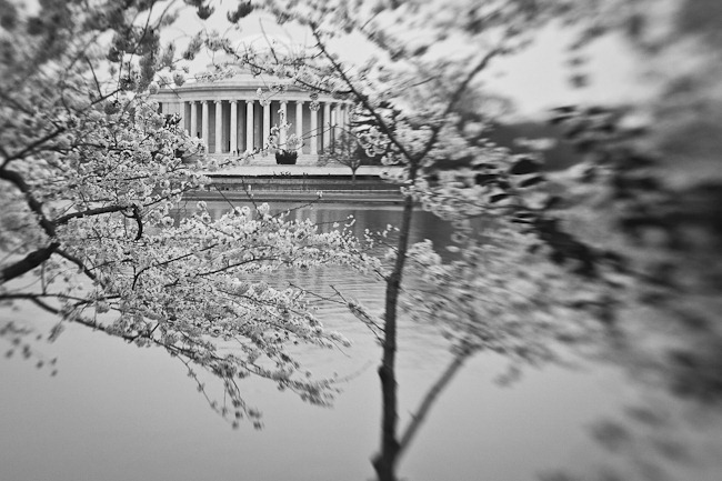 Cherry Blossoms and Jefferson - Lensbaby