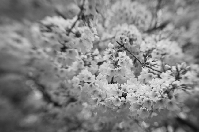 Cherry Blossoms - Lensbaby