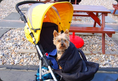 It was cold, so Caroline put Muffin in the buggy and covered him up! Just while we all had breakfast.