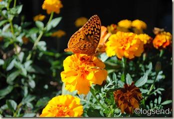 Fritillary on marigold