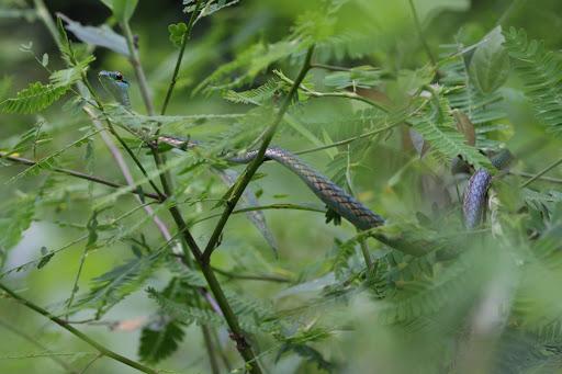 Black Skinned Parrot Snake