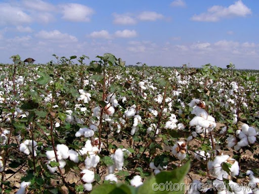 Cotton rally may end on record acreage