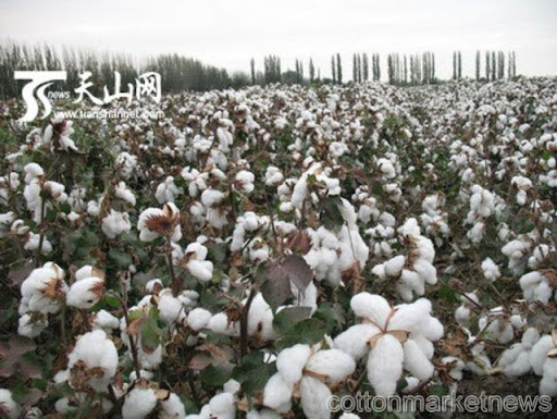 Cotton revival program launched