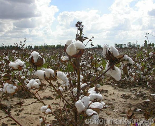 Cotton prices may drop as ICAC projects supply surge