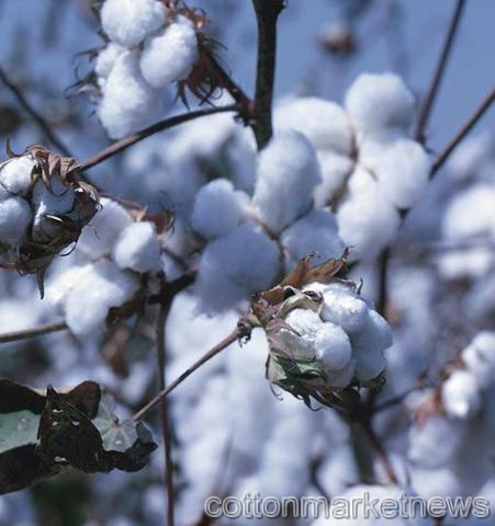 Indian Cotton Traders Call for More Exports